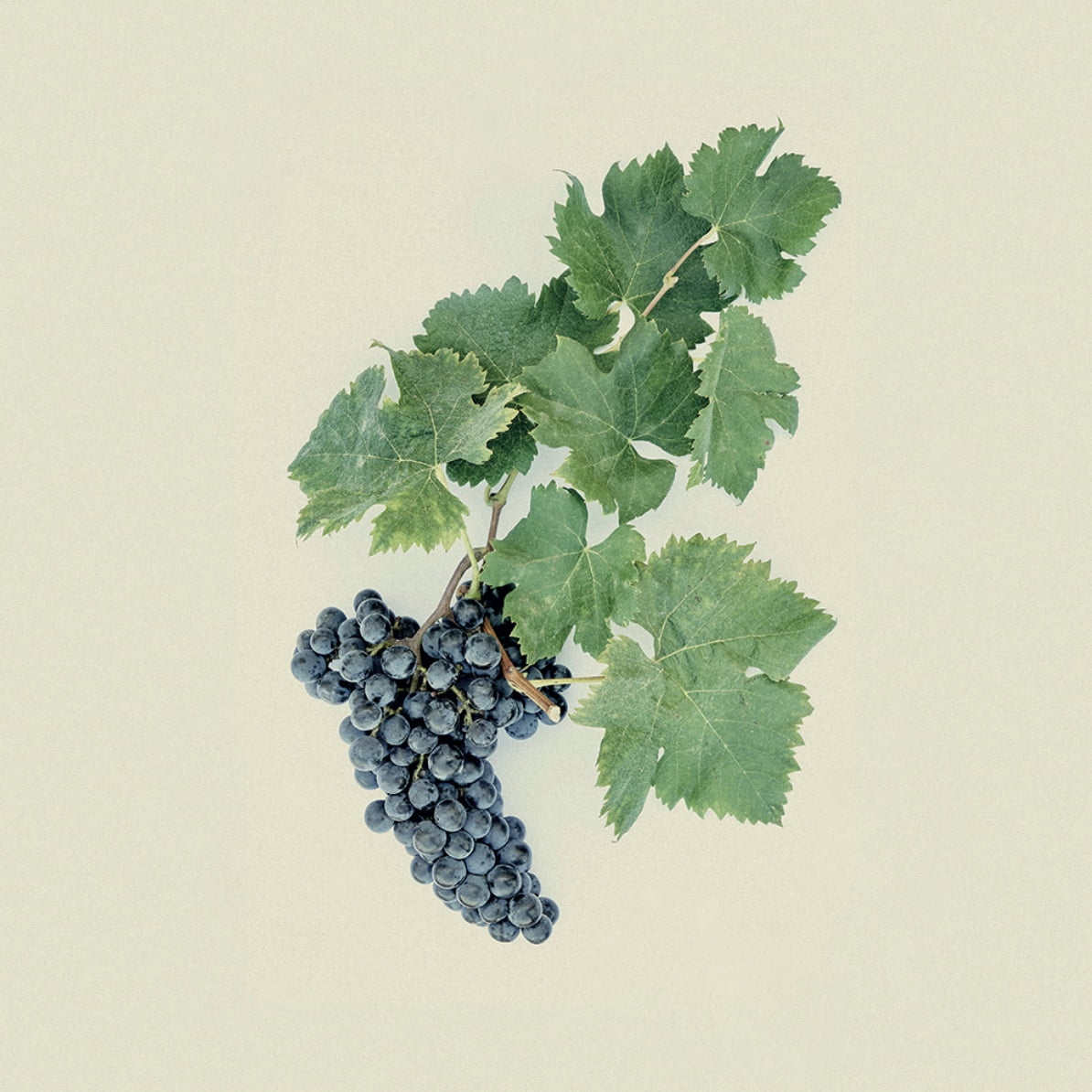 Vin Pauillac Médoc grape variety Cabernet franc