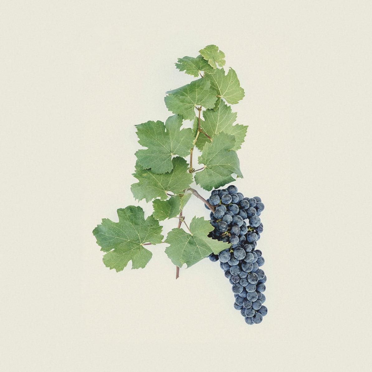 Wine région Médoc château grape variety Merlot