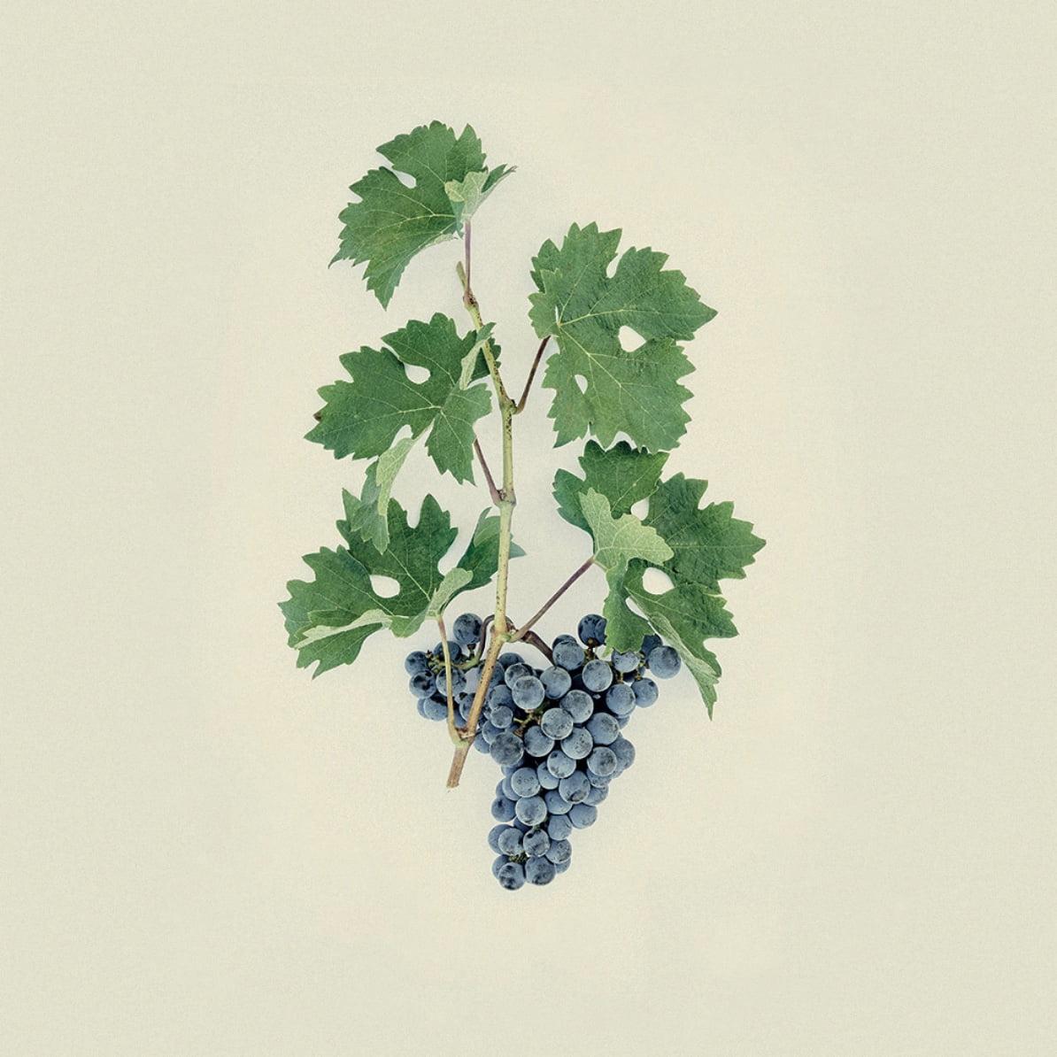 Médoc great wine de Bordeaux grape variety Cabernet Sauvignon