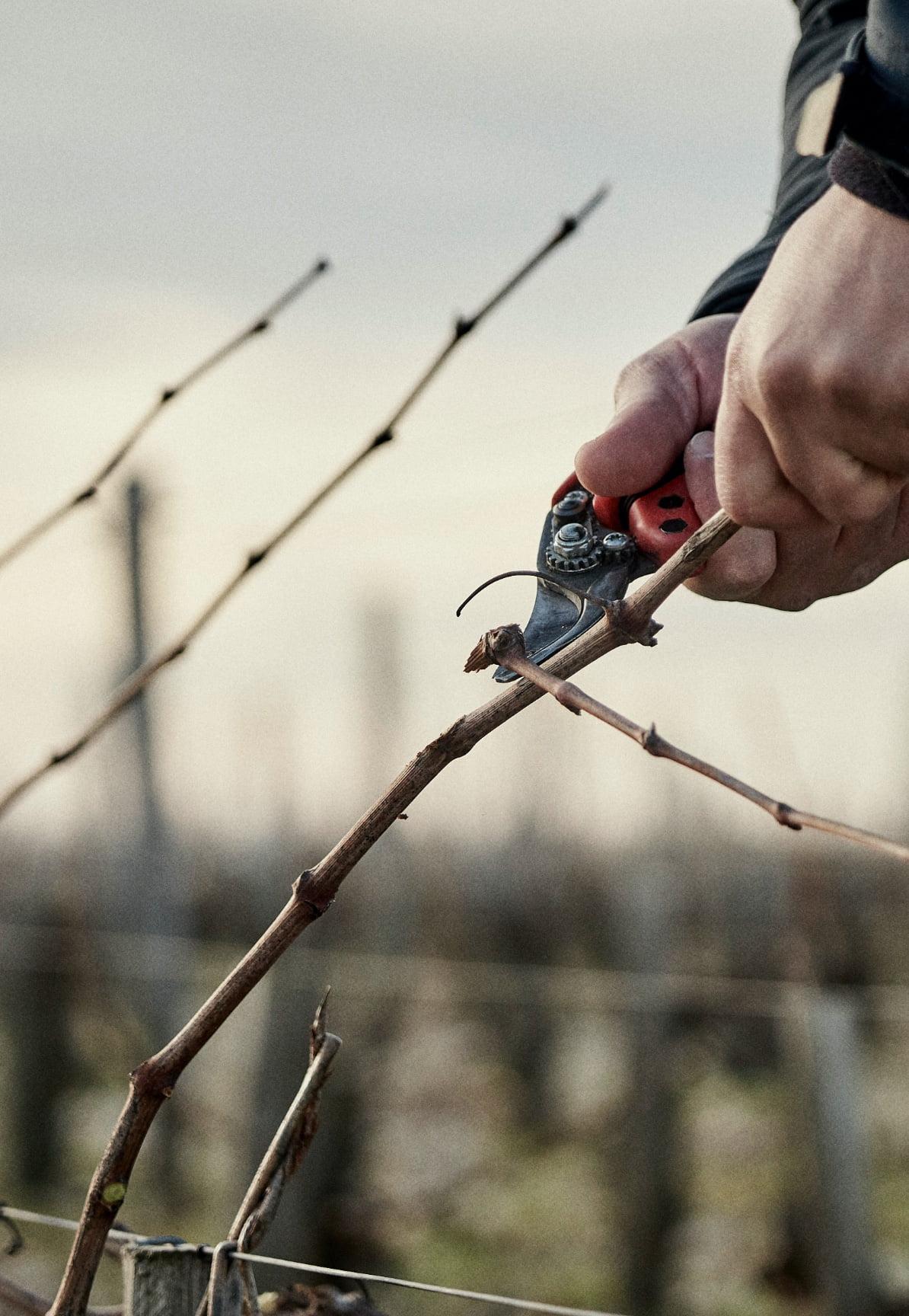 poussard pruning