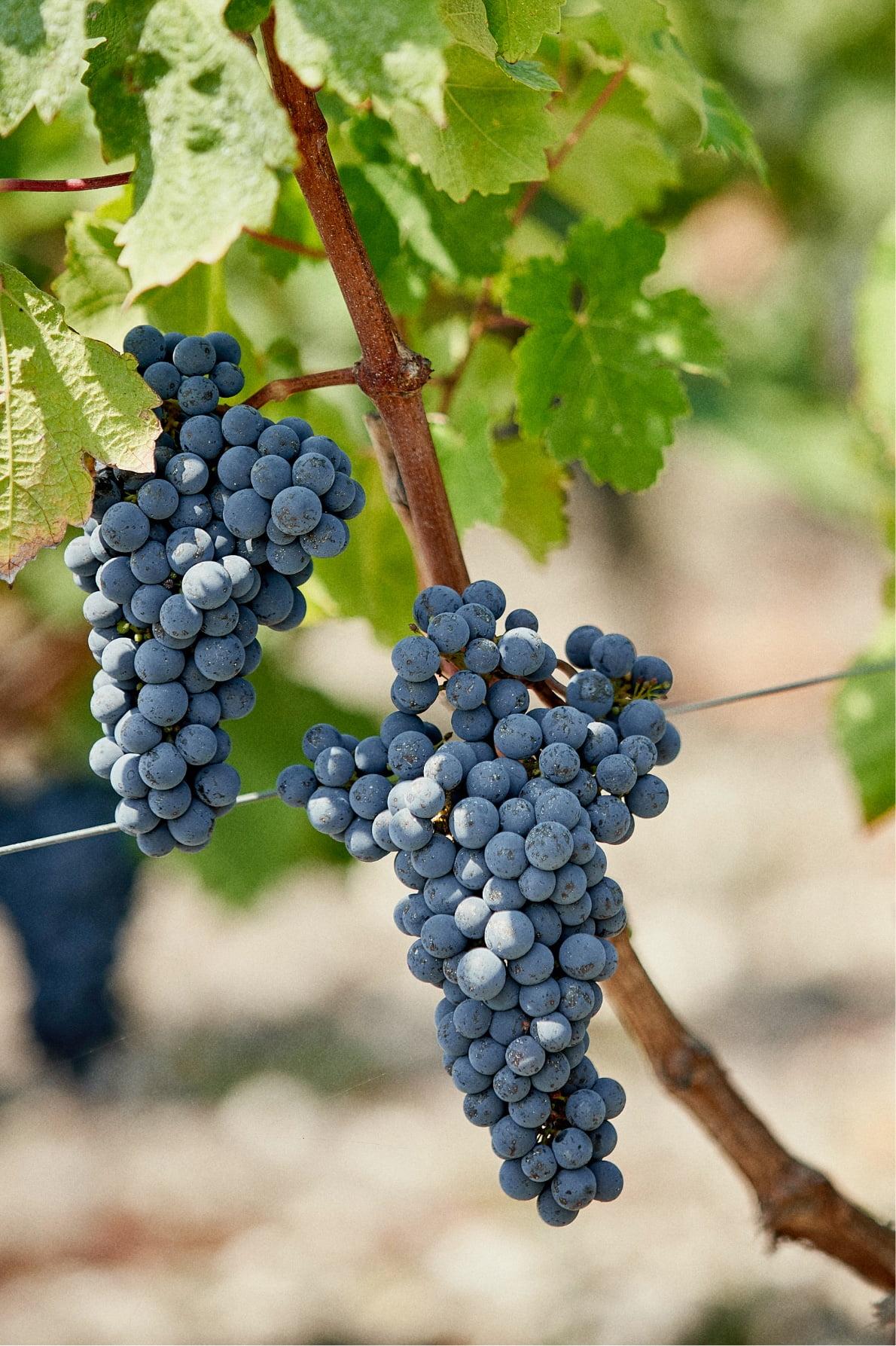 Bordeaux wine vintage